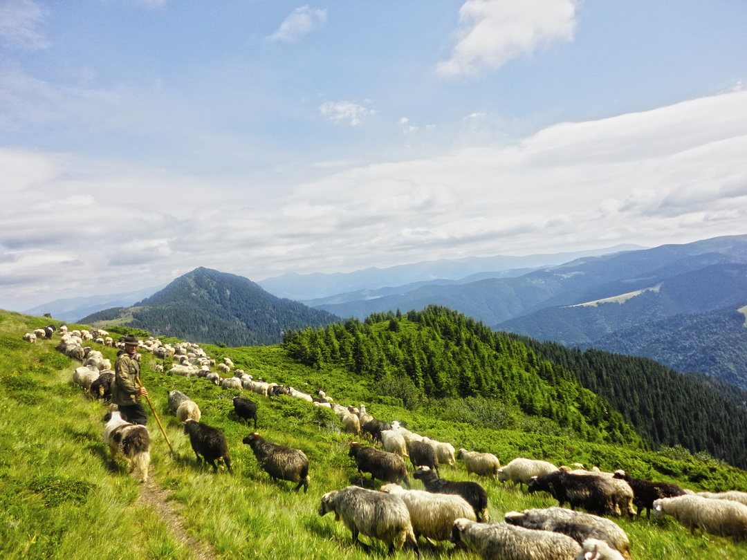 Sheep in the Carpathian National Nature Park