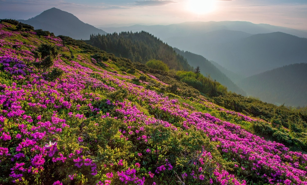 Carpathian flowers in blossom
