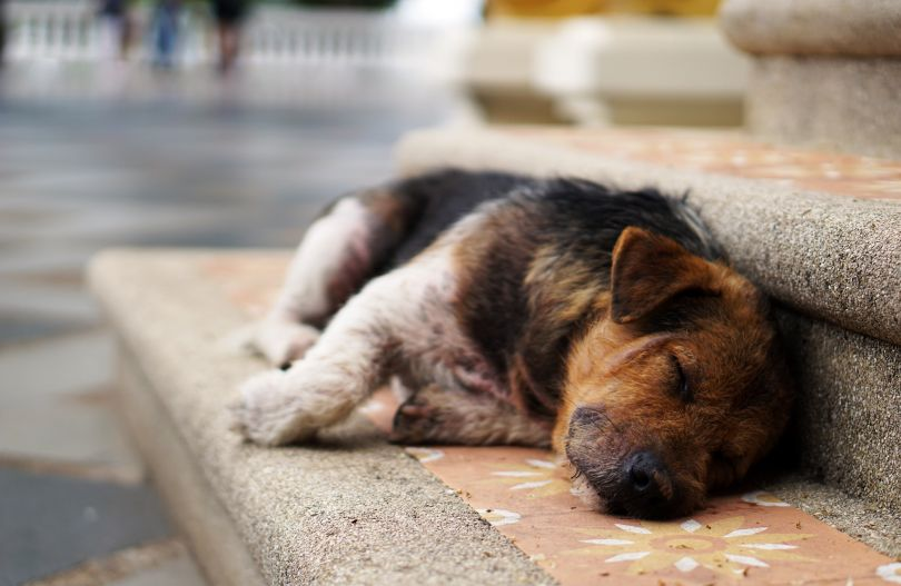 Stray dog sleeping