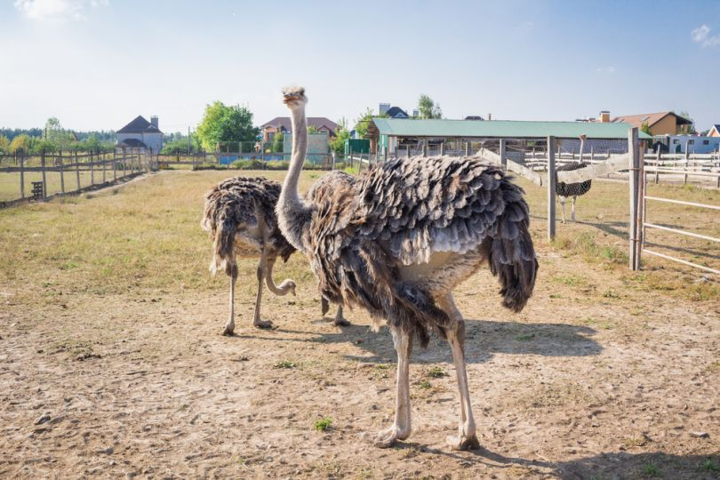 Ostrich farm in Odesa